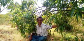 .engineer-grafts-51-types-of-mango-on-one-tree