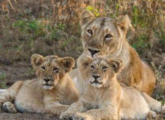 SAU-JUN-OMC-LCL-lion-darshan-can-be-done-in-junagadh-forest-gujarati-news-5957453-