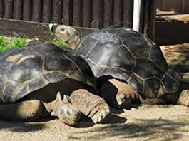tortoise couple breaks up after century together