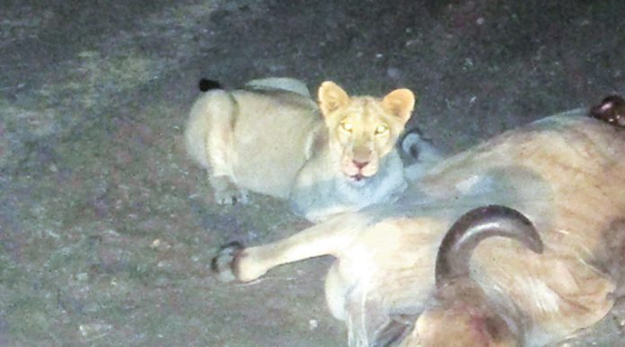 Lioness attack on young man in village Haramadiya of Unna,
